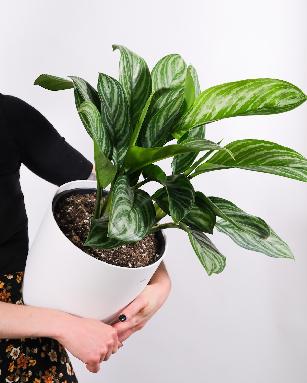 Agalaonema Plant