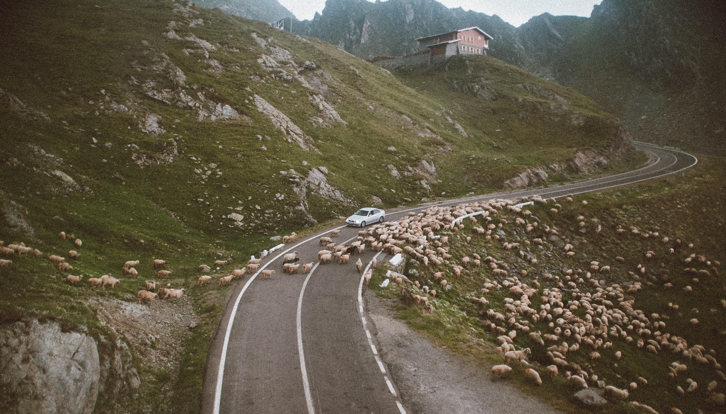Sheep and cars